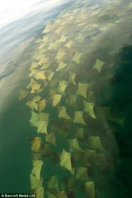 migration-raie-5