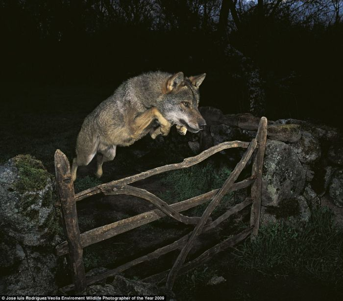 Un loup qui saute une barriere   d0wn